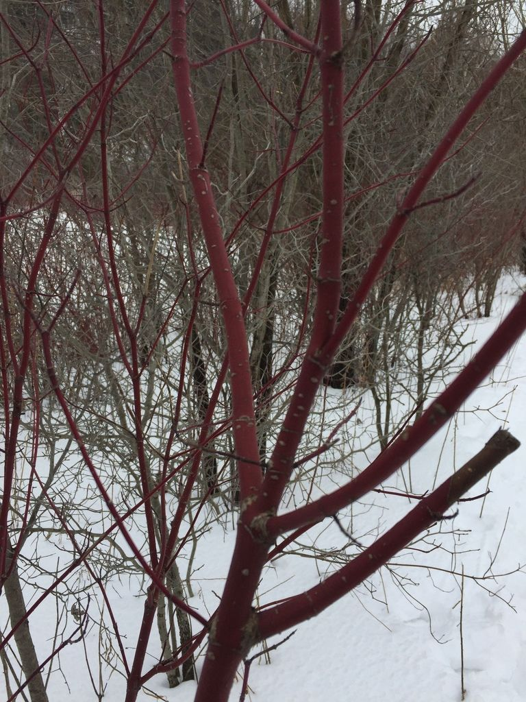 red osier dogwood| red willow| American dogwood| redstem dogwood Product Image