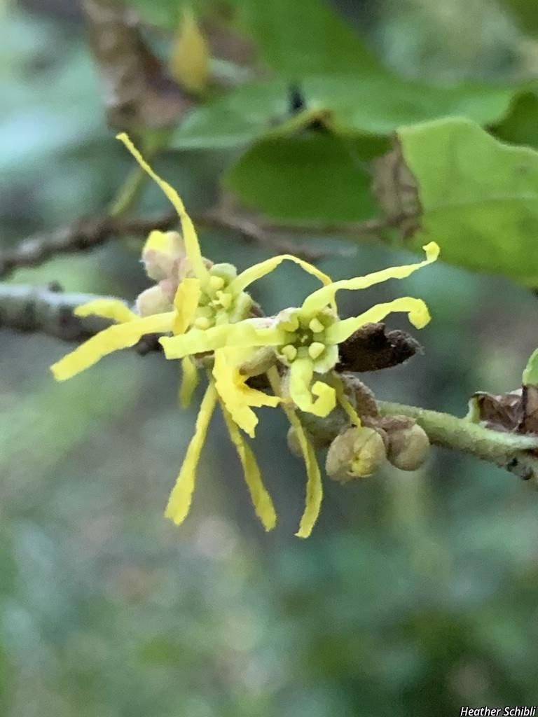 American witchhazel| witch hazel| spotted alder| striped alder| winterbloom| snapping hazel Product Image