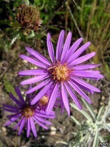 New England aster| Michaelmas daisy Product Image