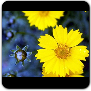 Sand Coreopsis