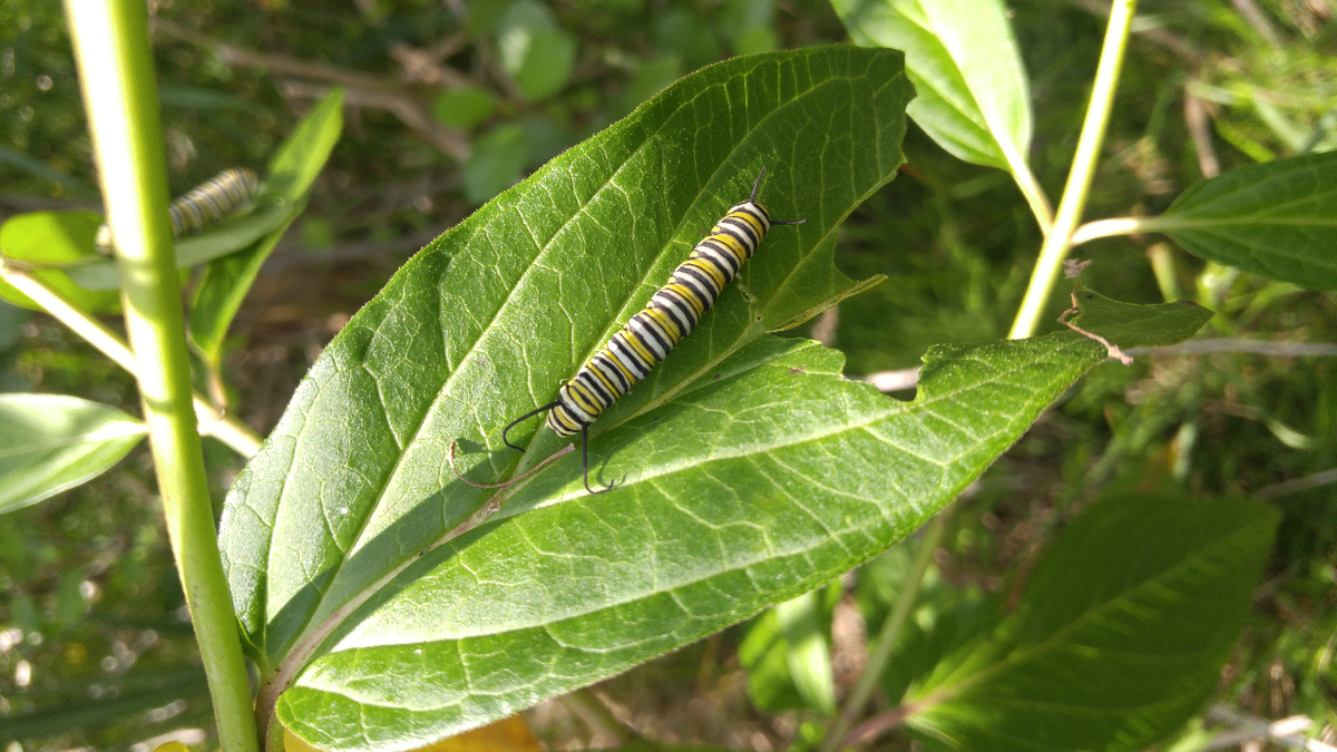 Monarch caterpillar on Swamp Milkweed