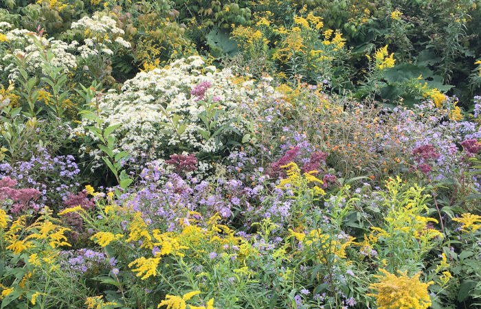 Asters and Goldenrods