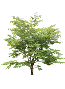 Woody Plants (Trees/Shrubs/Vines)
